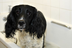 Spaniel Bathtime photo by Weeping-Willow Photography
