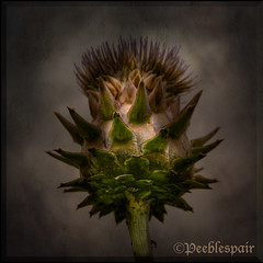 Scottish Thistle photo by Peeblespair