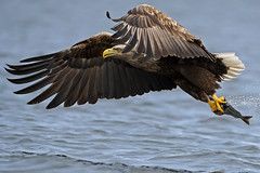 White-tailed-eagle_DSC2843 photo by Niklas_N