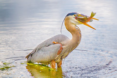 Got Food!!! - Blue Heron photo by Saibal K. Ghosh