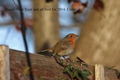 Robin photo by Colin Rigney