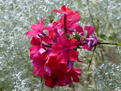 Phlox and Artemesia in my garden photo by lovesdahlias 1
