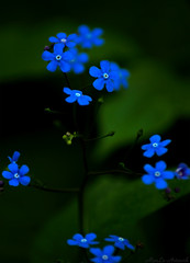 blue flower photo by .MarLo.