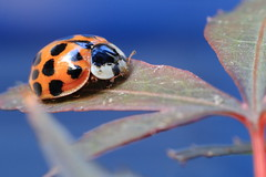 Project 365 #279 - Macro Ladybird/Ladybug photo by 8DCPhotography (www.8dcphotography.co.uk)