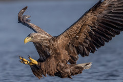 White-tailed sea eagle - closeup photo by Susanna Chan