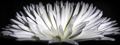 Chrysanthemum... photo by Bob T...