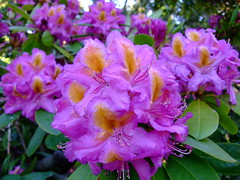 Rhododendron photo by yewchan