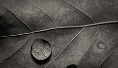 Leaf Macro photo by MikeRicciPhoto