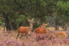 Red deer @ Hoge Veluwe photo by Marcel Tuit