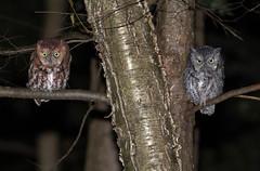 Eastern Screech Owls photo by Bill McMullen