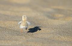 Least Tern Chick photo by Ryan Schain
