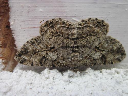 papillon nocturne la Boarmie commune
