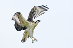 Juvenile Osprey photo by Insu Nuzzi