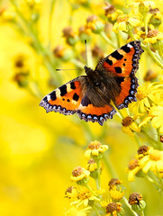 Small Tortoiseshell photo by Big G1948