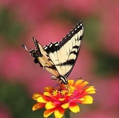tiger swallowtail photo by Denise Pelley