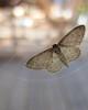 papillon La Frange Picotée (2)