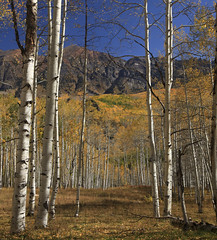 through the aspen (Explored) photo by Jeff Mitton