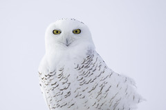 Snowy Owl Portrait photo by www.studebakerstudio.com