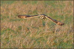 Short-eared Owl (image 1 of 4) photo by Full Moon Images
