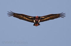 Red Headed Vulture photo by Zahoor-Salmi
