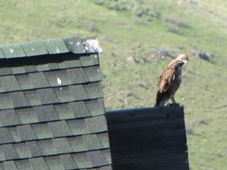 Hawk perch