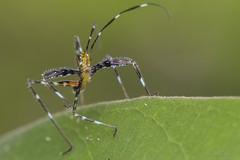 Ninfa de esperança (Tettigoniidae) photo by Bruno Garcia Alvares