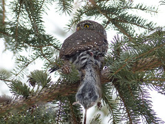 Northern Pygmy-owl with Meadow Vole photo by annkelliott