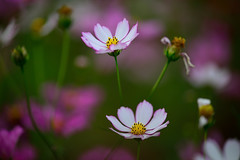 Cosmos photo by Vincent_Ting