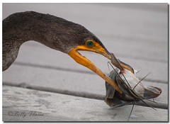Double Crested Cormorant photo by Betty Vlasiu