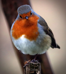 Robin 2 photo by maggie230