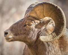 Rocky Mountain Bighorn Sheep (Explore #2) photo by glness