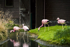 20141220_F0001: Flamingos exploring, exploring flamingos photo by wfxue