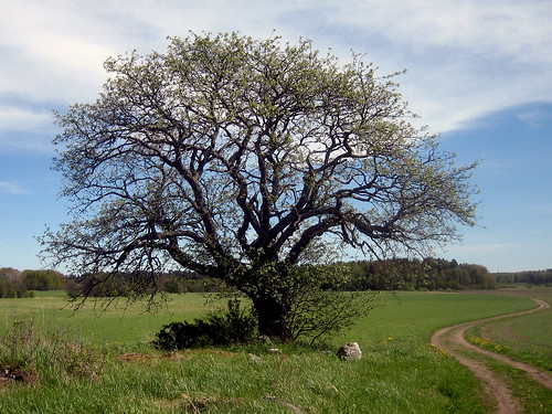 That Old Tree (May 28th)