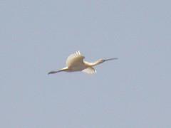 Spoonbill, Castro Marim (Portugal), 30-Apr-06