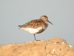 Dunlin, Castro Marim (Portugal), 1-May-06