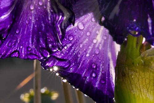 Sunshine beneath the Batik Iris
