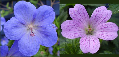 Two geranium flowers, 1 blue 1 pink.