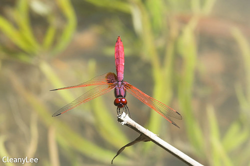 13038紫紅蜻蜓 Trithemis aurora