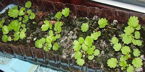 Baby Strawberry Plants