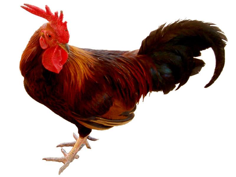 Mexican Cock