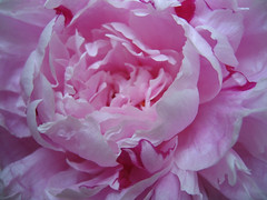 peonies_small
