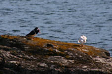 Oystercatchers & Seagull