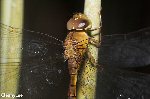 13159 浡鋏晏蜓 Gynacantha bayadera 雌未熟?