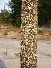 Gum Pole