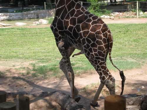 giraffe_penis