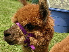 Alpaca Friend #2 is so cute