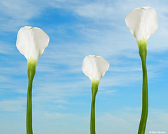 Calla Lilies and Clouds