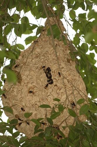DSC_0067 Wasps' Nest, Lalbagh, 25 July 06