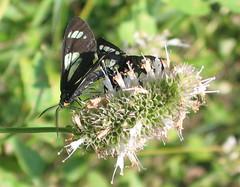 Moth Sex