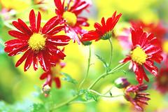 Red Florists' Daisy in The Rain / 雨に濡れる小菊(阪神の誉) photo by Dakiny